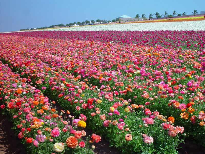 The flower fields in Carlsbad, California.